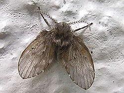 250px-Psychodidae