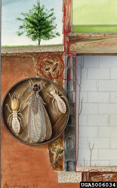 Termite tunneling, Art Cushman, USDA; Property of the Smithsonian Institution, Department of Entomology, Bugwood.org