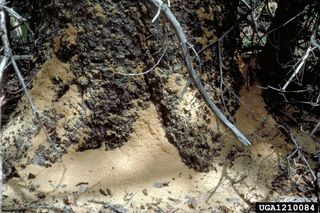 Carpenter ant sawdust at the base of a tree-Dave Powell, USDA Forest Service, Bugwood.org