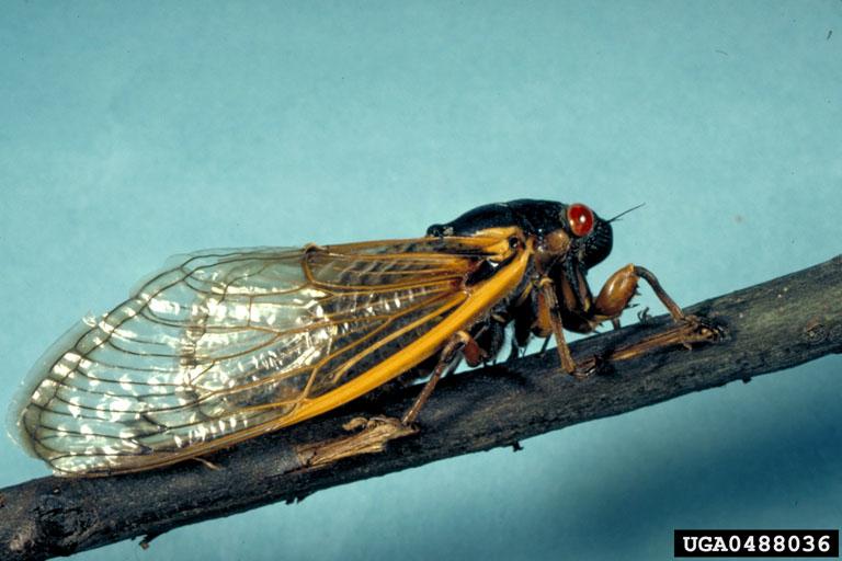 Cicada-John H. Ghent, USDA Forest Service, Bugwood.org
