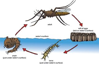 Mosquito life cycle from fightthebite.net:mosquitoes