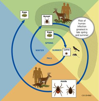 Tick life cycle from CDC