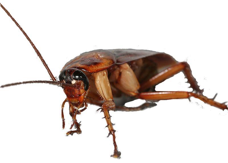 American-cockroach_6638
